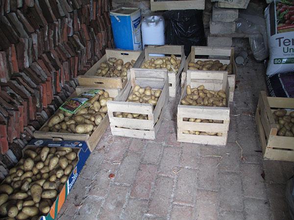 récolte pommes de terre 2013